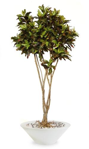 Croton Mash Root